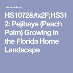 Pejibaye (Peach Palm) Growing in the Florida Home Landscape Planting In Sandy Soil, Cocoa Plant, Cocoa Chocolate, Top Soil, Winter Flowers, Plant Growth, Florida Home, Palm, Beans