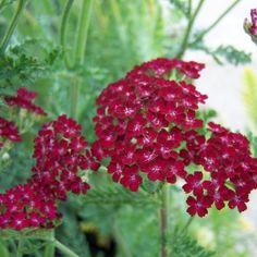 Yarrow 'Summer Wine' Achillea