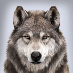 Wolf's portrait, Massimo Righi - Tattoo - Beautiful Wolves, Animals Beautiful, Cute Animals, Wild Animals, Fierce Animals, Baby Animals, Wolf Photos, Wolf Pictures, Nature Photos
