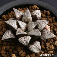 "Succulent. (""Haworthia Retusa Hyb."")"