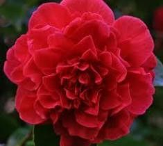 Kramer's Supreme Camellia Camellia Japonica ' kramers supreme' Deep red buds open to beautiful peony type red blooms with a delightful fragrance. Flowers are a great contrast to the glossy, dark green