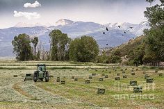 A Farmer is busy finishing up his day baling hay on Colorado's Western Slope in Mancos, Colorado. The birds are busily gathering up nesting material. The San Juan Mountains are scene in the distance from this historical rich valley.