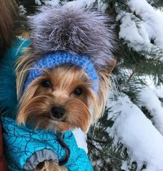 The Popular Pet and Lap Dog: Yorkshire Terrier - Champion Dogs Yorkshire Terrier Haircut, Yorkshire Terrier Puppies, I Love Dogs, Cute Dogs, Adorable Puppies, Adorable Animals, Funny Animals, Yorshire Terrier, Top Dog Breeds