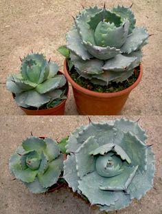 agave potatorum Cacti And Succulents, Planting Succulents, Planting Flowers, Cactus Planta, Cactus Y Suculentas, Terrarium Plants, Succulent Terrarium, Unusual Plants, Rare Plants