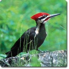 Pileated #Woodpecker – Weird & Fun #WildBird Facts from the Wild #Bird Directory –