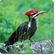 Pileated #Woodpecker – Weird & Fun #WildBird Facts from the Wild #Bird Directory –