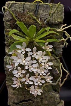Sarcochilus Falcatus - A Nice Small Flowered-Form Of The Orange Blossom Orchid Orchids Garden, Orchid Plants, Exotic Plants, Tropical Plants, Garden Plants, Orchid Flowers, Herb Garden, Potted Plants, Popular House Plants