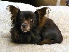 It's a Charlie twin! Sammy is an adoptable Chihuahua Dog in Rockville, MD. Fostered in Clarksburg, MD My name is Sammy, and I am a 7yr old, 10lb, long haired Chi. I was rescued out of shelter in MD where I was surrended b...