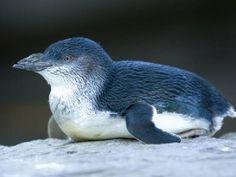 Dwarf Penguin @ Little blue Penguin