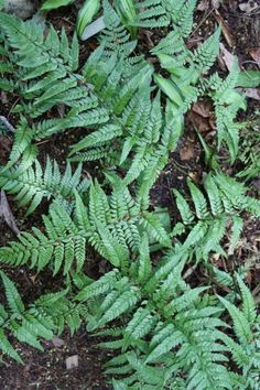 Tao Yuan Giant Korean Rock Fern for sale buy Polystichum tsus-simense v. Xeriscape Plants, Drought Tolerant Plants, Rock Garden Plants, Shade Garden, Ferns For Sale, Part Shade Plants, Evergreen Ferns, Chinese Plants, China Garden