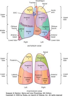 lung lobes with segments - Google Search