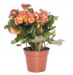 Begonia (Begonia elatior 'Bodinia Rio') D 14 cm