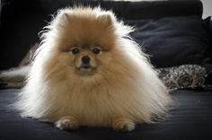 Couch Potato  |  #Pomeranian #dog