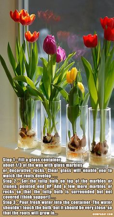 Growing Tulips Indoor.