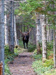 Achtung Elch, Parc National de Forillon, Canada