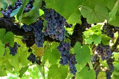 FOGLIE: Precipita il prezzo dell'uva da 80 a 30 centesimi ...