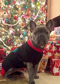 Merry Christmas from a French Bulldog in Tucson ❤