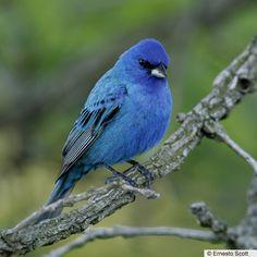 All Birds of North America | The Birds of North America Online-Indigo Bunting