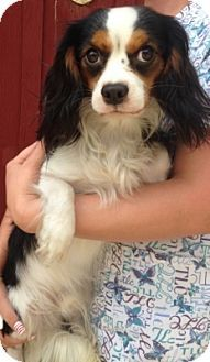 Temecula, CA - Cavalier King Charles Spaniel. Meet Toby, a dog for adoption. http://www.adoptapet.com/pet/13457175-temecula-california-cavalier-king-charles-spaniel