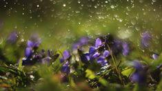 Renatures.com - Flowers Violets Forest Nature Flower Art Desktop Wallpaper