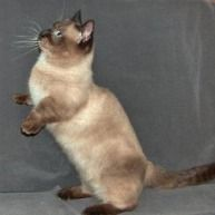 Click to learn about the history, personality, common traits and health issues for the Munchkin cat. (Photo courtesy of TICA)