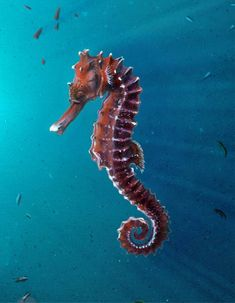 A Seahorse (Cavalluccio Marino Underwater Creatures, Underwater Life, Ocean Creatures, Underwater Animals, Underwater Photos, Beautiful Sea Creatures, Animals Beautiful, Sea Dragon, Tier Fotos