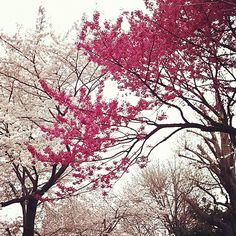 Red and white cherry-blossoms