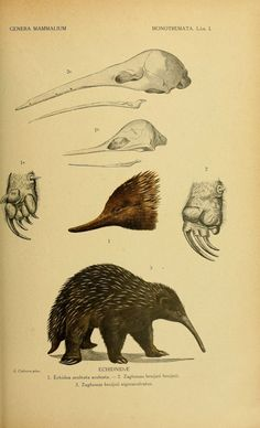 theartfulgene:  Echidnas and platypuses are monotremes, i.e....