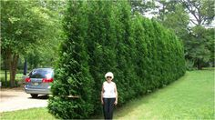 The American Pillar - Thuja Arborvitae The New, Narrow and Natural Screen of Choice! Fast growing noise/privacy screen