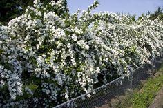 Philadelphus × virginalis 'Natchez' Natchez Flowering Mock Orange 133853 - Gardening in Washington State | Washington State University