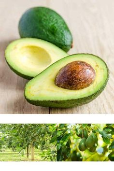 Large Indoor//Outdoor Avocado Trees Ready to give Fruit 2-3 ft HASS Avocado Tree - Cannot Ship to AZ Get Delicious Avocado Fruit Year Round from This Patio Fruit Tree