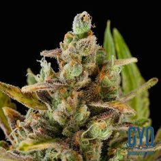 Dinafem Critical Kush Feminised Weed Seeds: A productive and powerful little number, the Critical Kush is a heaven-sent blend of the Critical + and the Emerald OG Kush. Dinafem have described it as their best USA strain, a hybrid that provides everything a grower wishes. If these wishes include a 50 day indoor flowering time and yields a donkey couldn't carry, then we are inclined to agree.