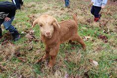 Sleepy Goat Farm