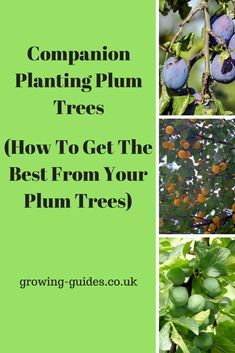 All you'll need to grow better healthier plum trees by companion planting plum trees with many common garden plants