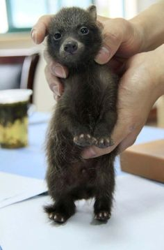 Bush dog puppy