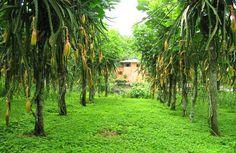 Photo of Dragon Fruit Plant, dragon fruit farm, grow at home
