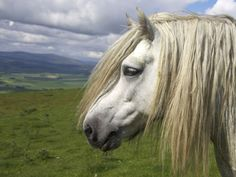 'The Highlander' - Roselyne O'Neill |  Highland Pony Stallion roaming the hill