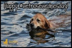 Happy #wetnosewednesday from across the Rainbow bridge from Max 1415. The days are getting longer and we're all swimming towards spring :) #goldenretriever #rescuedog #secondchances #adoptdontshop Rainbow Bridge, Rescue Dogs, Adoption, Swimming, Spring, Happy, Animals, Foster Care Adoption, Swim