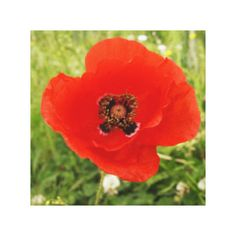 =>Sale on          Blue Poppy Flowers Canvas Print           Blue Poppy Flowers Canvas Print we are given they also recommend where is the best to buyReview          Blue Poppy Flowers Canvas Print please follow the link to see fully reviews...Cleck link More >>> http://www.zazzle.com/blue_poppy_flowers_canvas_print-192869925922457715?rf=238627982471231924&zbar=1&tc=terrest