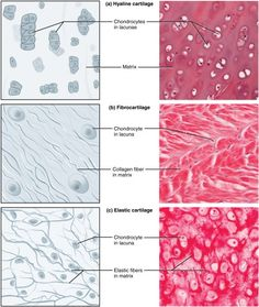 What is the difference between Bone and Cartilage? Bone is a strong, nonflexible connective tissue while cartilage is a flexible connective tissue. Skin Anatomy, Anatomy Study, Hyaline Cartilage, Histology Slides, Nursing School Notes, Medical School, Tissue Types, Medical Laboratory Science, Human Anatomy And Physiology