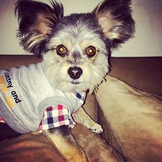 Take me to your leader #alien #evileyes #dogs #yorkies #redfern #surryhills #ootd #instadog #instapet #instafamous @Dexter_thedog