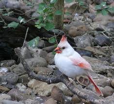 leucistic cardinal - Google Search