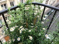 Potée d'Aster x frikartii 'Mönch', de Kalimeris 'Madiva' et de Chrysanthemum avec des tuteurs en bambou et des petits treillages en plastique sur mon balcon, Paris 19e (75)Potée armée contre les pigeons #balcon #balcony #oiseau #Paris http://www.pariscotejardin.fr/2017/07/potee-armee-contre-les-pigeons/