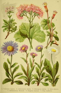 Alpen-Flora 82, 1904.