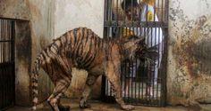 """El zoológico de la muerte: una condena para los animales Esta situación llega a su extremo en un zoológico en Indonesia, donde el maltrato y la crueldad ha hecho que se le llame """"parque zoológico de la Muerte"""". El parque zoológico de Surabaya concentra el mayor número de ejemplos de crueldad animal existente sobre el planeta terra. Es el mayor parque zoológico de Indonesia y en su interior alberga ejemplos de crueldad inimaginables."""