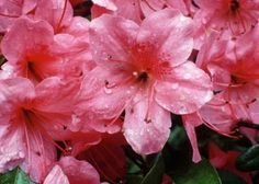 The large flowers of azalea bushes (Rhododendron spp.) add bold color to flower arrangements. Display a single bloom in a delicate cup or vase, or put together a whole bouquet for a larger ...
