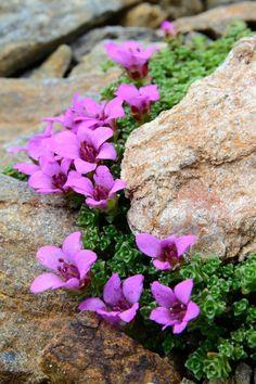 SAXIFRAGA OPPOSITIFOLIA (Sassifraga a foglie opposte. Beautiful Flowers Garden, Amazing Flowers, Pretty Flowers, Beautiful Gardens, Rock Garden Plants, Pink Garden, Rock Flowers, Wild Flowers, Strange Flowers