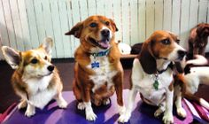 It's Cody from Herndon, VA on his first day of dog daycare. He's a combo of Bodhi the Corgi and Roscoe the Beagle, both from Reston, VA. The resemblance is uncanny! Photo bomb courtesy of Obie... www.HealthyHoundPlayground.com