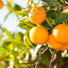 Bloomsz Orange Tree in Decorative Planter   Products