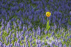 Free Stock Photo for Commercial Use - One tulip among purple flower field